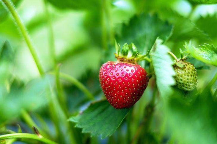 Подкормка клубники дрожжами: отзывы, можно ли подкармливать во время цветения (видео)