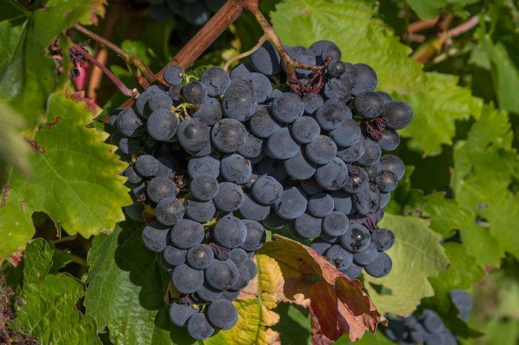 Как правильно ухаживать за виноградом, чтобы получить богатый урожай