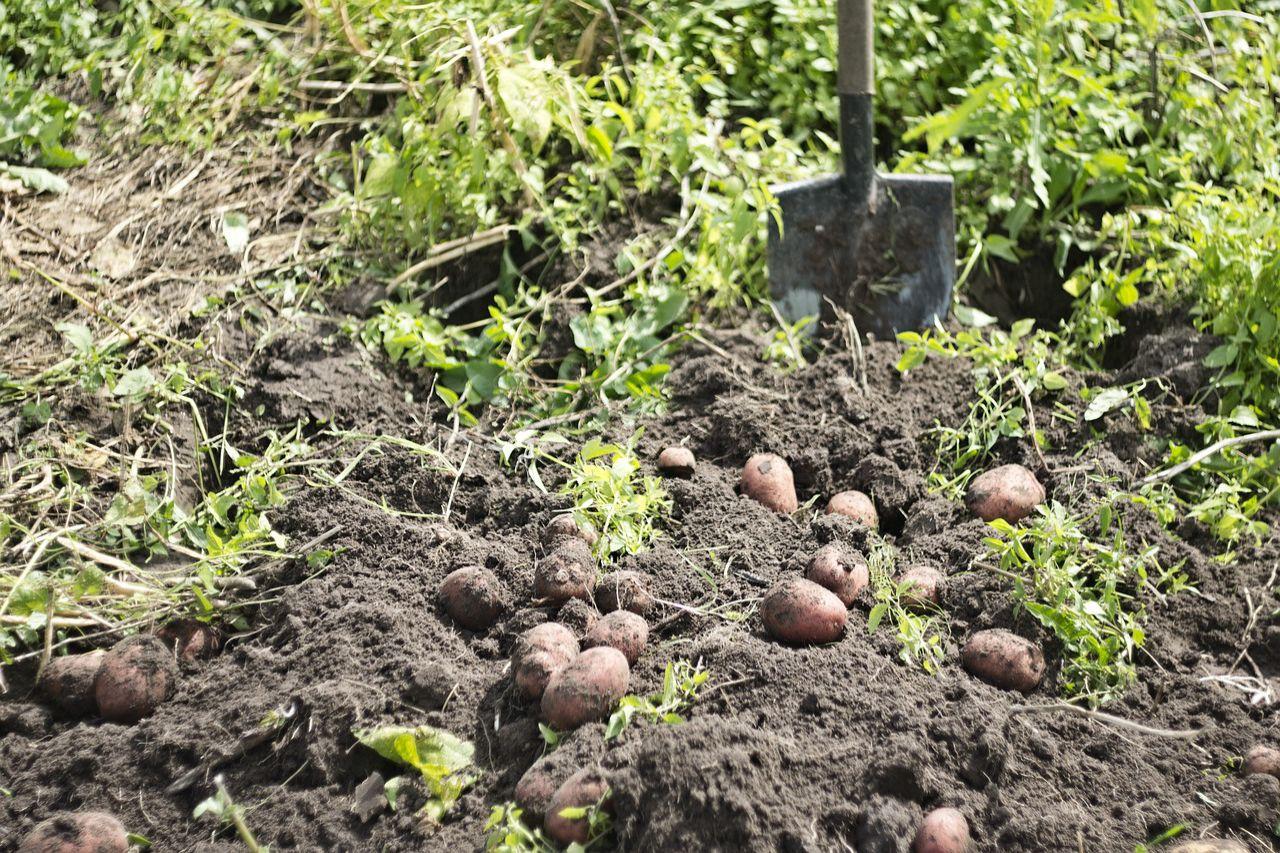 картофель со своего огорода