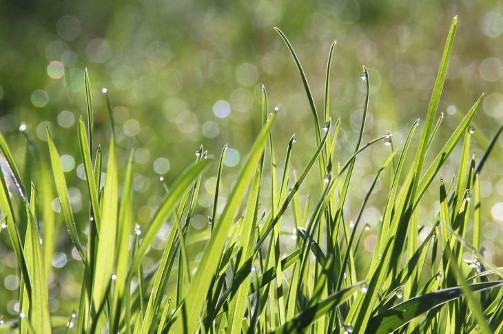 Трава Роса