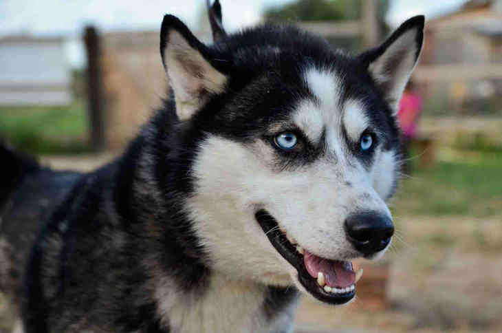 Origins Alaskan Malamute vs Siberian Husky We said that the Giant Alaskan Malamute and Siberian Husky were similar and are often mixed up by a lot of dog lovers