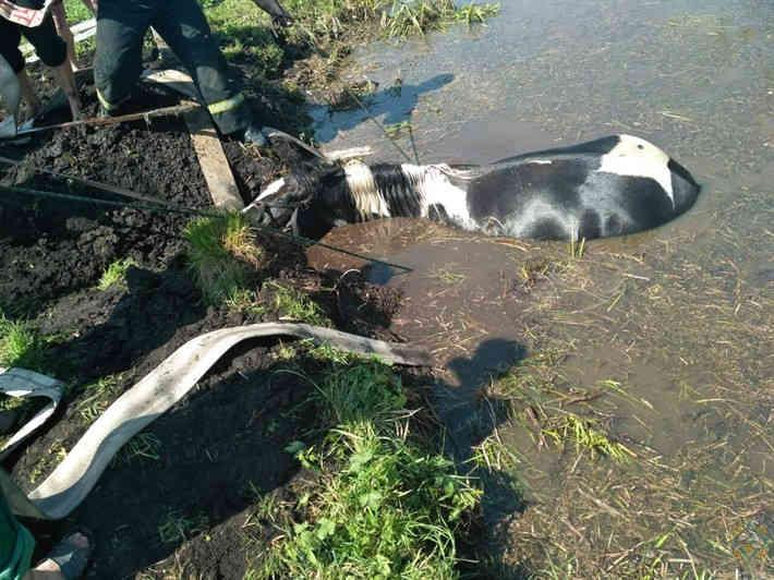  В Гомельском районе спасатели помогли лошади выбраться из копани