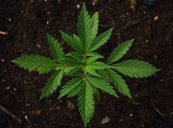 марихуана при повышенной давлении