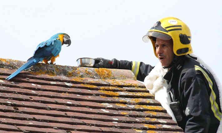 В Британии пропавший попугай обматерил спасателей и улетел
