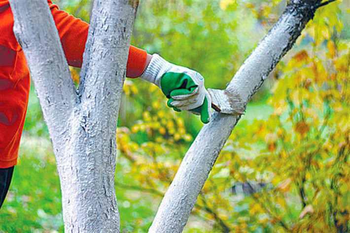 Побелка деревьев: когда, как и надо ли вобще?