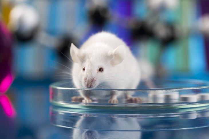 Учёные впервые добились рождения живых мышей от двух отцов