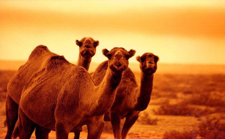 Прионная болезнь впервые найдена у верблюдов