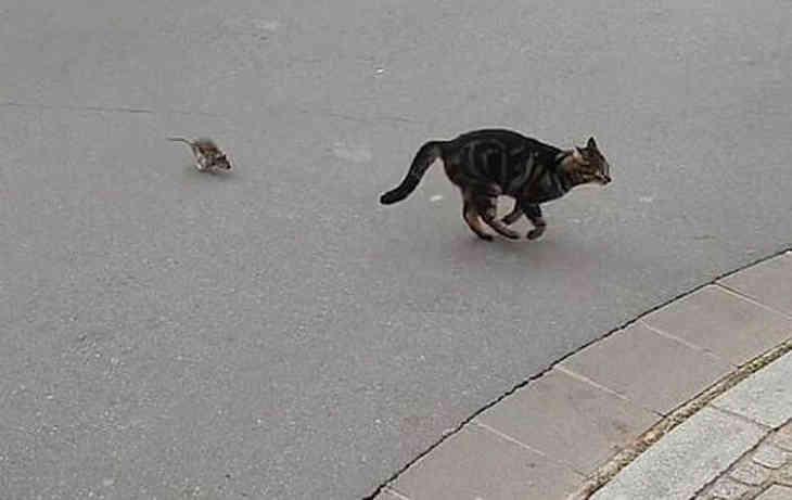 Огромная крыса устроила погоню за котом