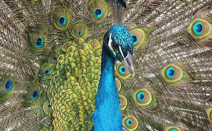 Ученые: красочные хвосты павлинов выступают в роли камуфляжа