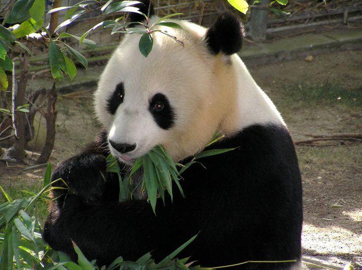 Ученые определили, что древние панды были хищниками