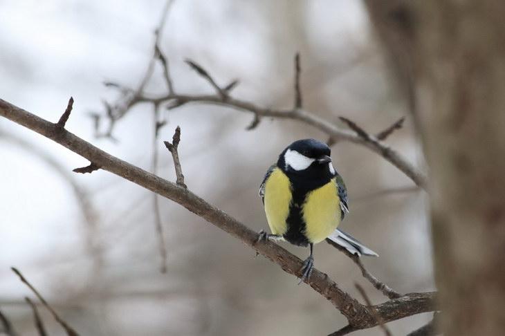 Орнитологи: Синицы стали агрессивными из-за изменения климата