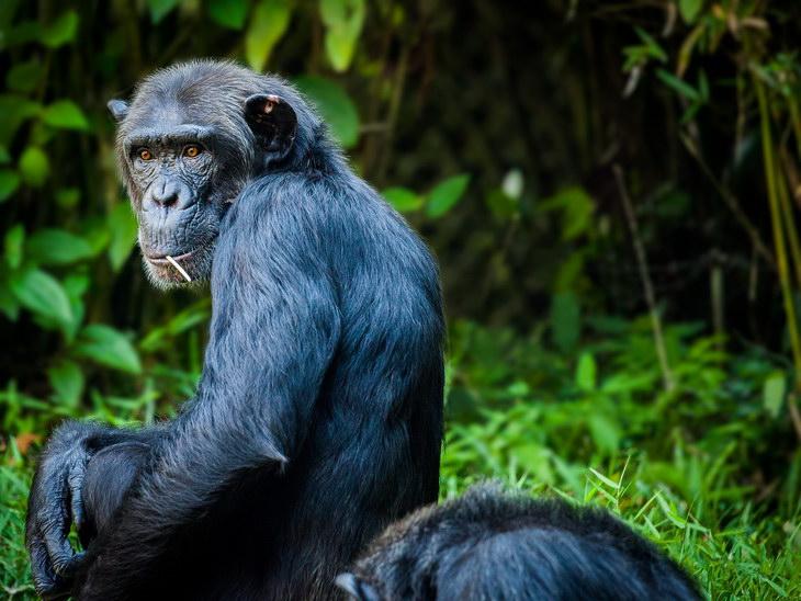 Ученые: Шимпанзе быстрее людей учатся бить орехи