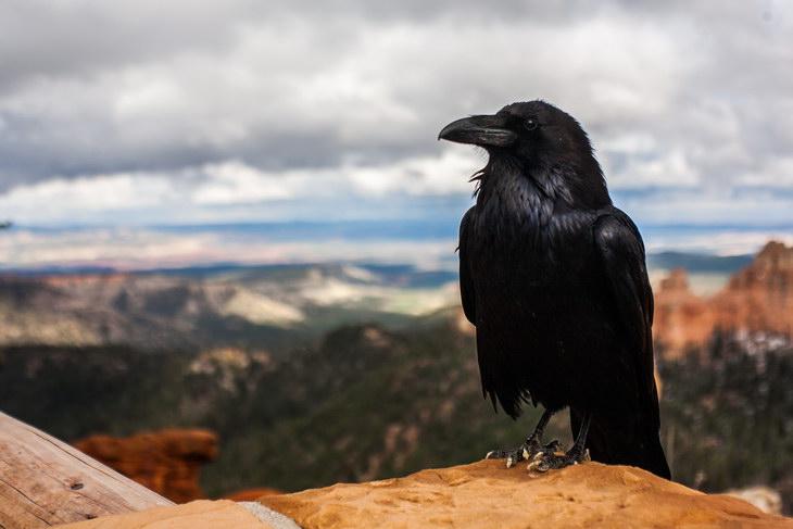 Ученые подтвердили уникальность ума ворон