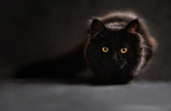 Какую кошку лучше заводить в квартире