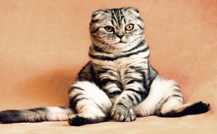 Как подготовить кошку к стерилизации: советы ветеринаров