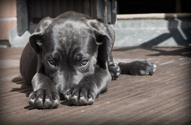 Появилась собачья болезнь, которая передается человеку и вызывает лихорадку