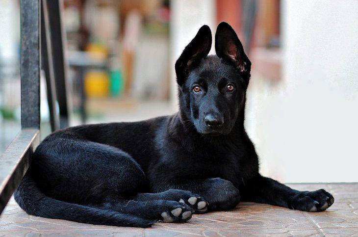 Кинологи назвали лучшие породы собак для охраны и защиты