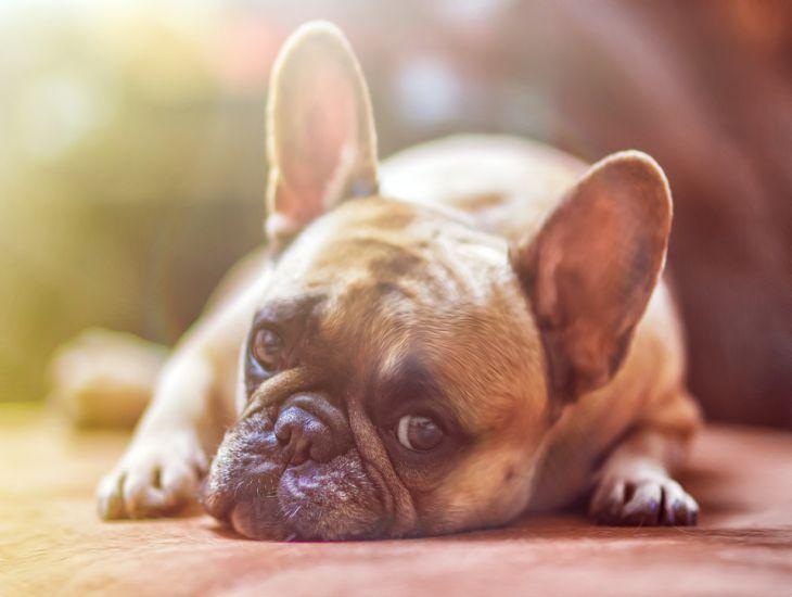 Артрит у собак: признаки, лечение, профилактика