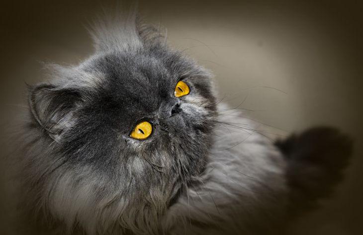 Факты о персидских кошках