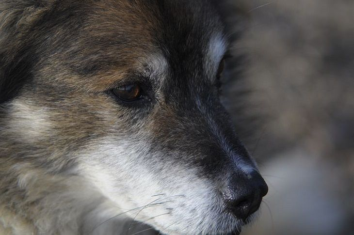 Кто умнее — волки или собаки: мнение специалистов