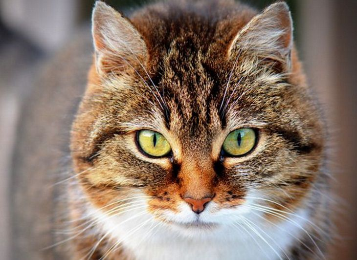 Исследователи: черты поведения кошек наследуются