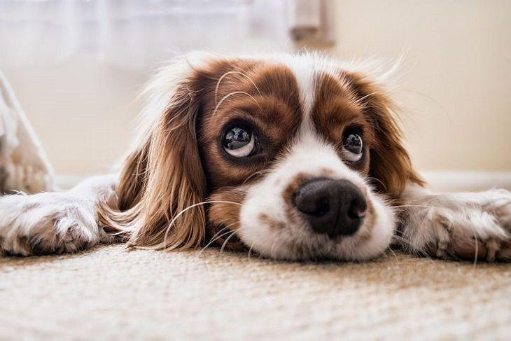 Почему собаки с висячими ушами кажутся более дружелюбными