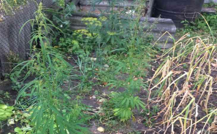 освещение при выращивание конопли