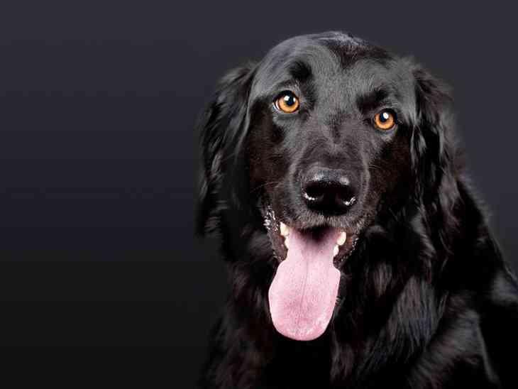 Ученые создали прибор для дистанционного управления собакой