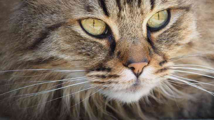 Ученые рассказали, как сделать кошек гипоаллергенными