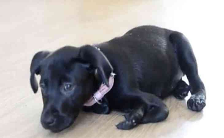 В Англии появился на свет щенок лабрадора с 6 лапами