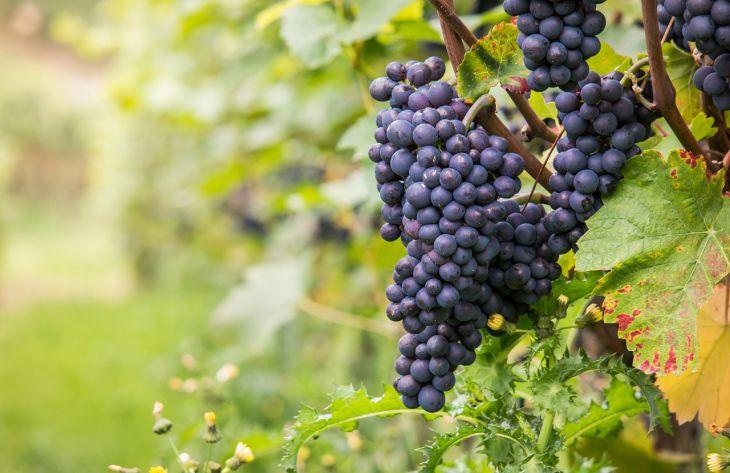 Умный виноградник: как правильно подготовить виноград к зиме