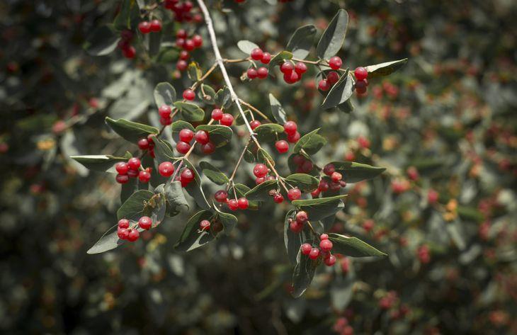 Эксперты предупредили о начале сезона ядовитых ягод