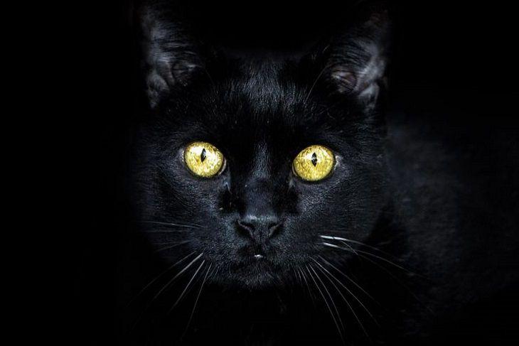 Породы таинственных черных кошек: их угольный окрас считается оберегом