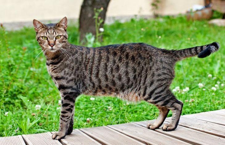 Особенности египетской кошки мау