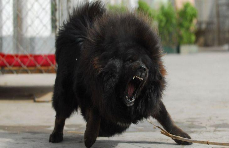 Тибетский мастиф: особенности породы