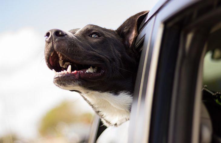 Собаки научились копировать мимику людей в ходе эволюции: результаты исследования