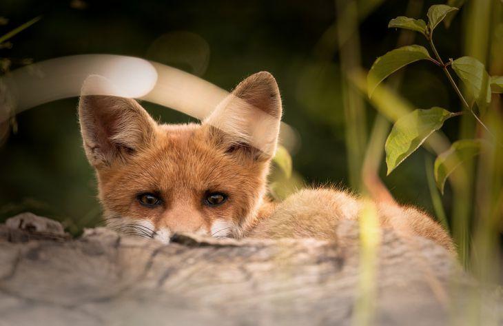 Как содержать лису в домашних условиях