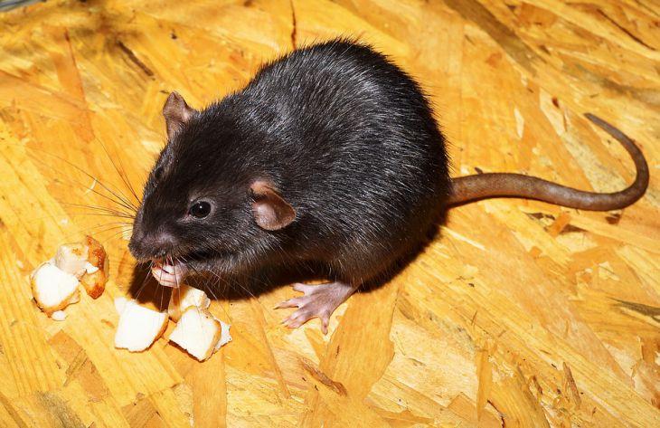 Стоит ли заводить домашнюю крысу: плюсы и минусы питомца