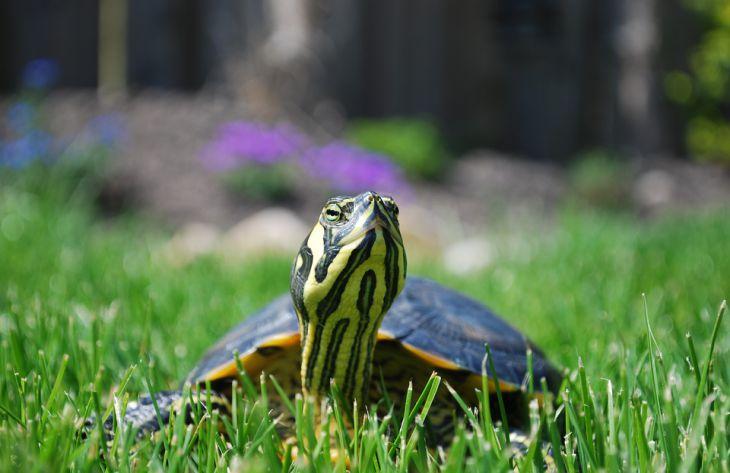 Особенности содержания домашней черепахи