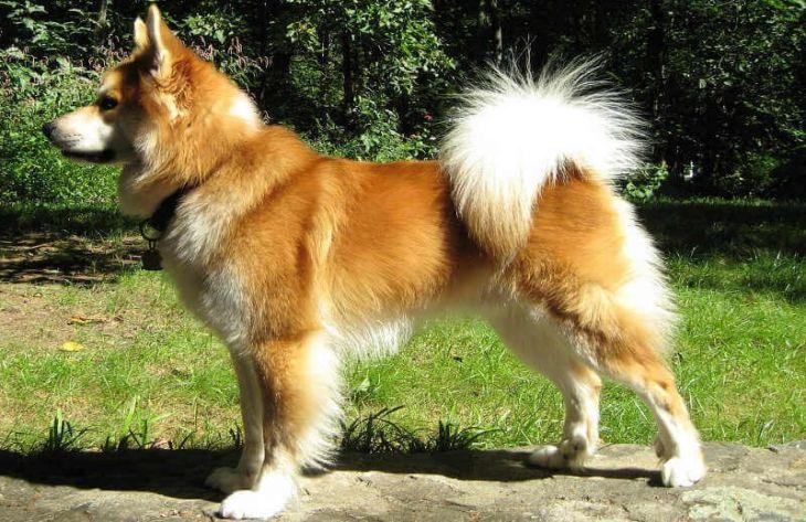 Топ-8 редких пород собак, о которых мало кто слышал