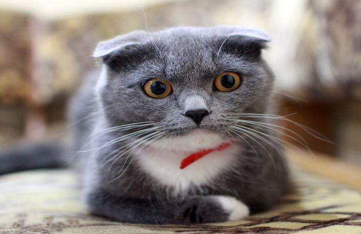 Что нужно знать о британской кошке