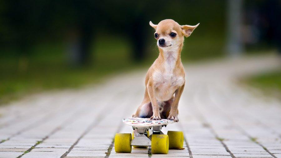разноцветные картинки собака самых маленьких в мире собак такой