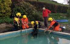 Видео: в Англии спасатели выловили корову из бассейна