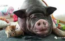 свинья в доме