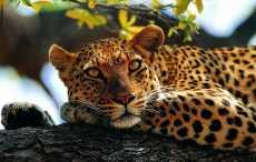Гепарды оказались на грани вымирания