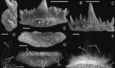 В Беларуси обнаружили и исследовали зубы ранее не известного ископаемого вида акул