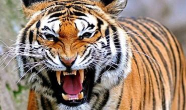 В китайском цирке тигр откусил пенсионеру два пальца на руке