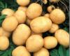 Мозырьский изобретатель вырабатывает энергию из картошки