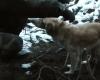 Спасение собаки, попавшей в петлю браконьера, сняли на видео